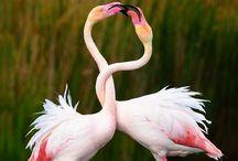 Flamingos / Flamingos