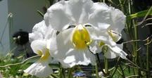 Terrestrial Orchids / Orchids in Myrtle Glen, a backyard wildlife habitat in Central Florida