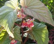 Begonias, canes and rexes