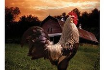 Chickens & Roosters