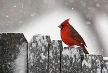Cardinals / by Moon Stumpp