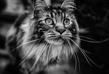 Maine Coons / https://fairmeadowplace.blogspot.com