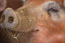 Critters and Their Care / Farm animals - cute and useful.