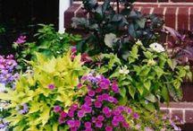 Vege Garden/Pots / Vegetable garden