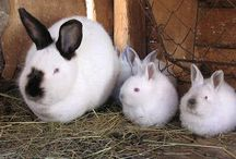 Critters and Their Care - Rascally Rabbits / How to Raise Meat Rabbits for Food and Manure.