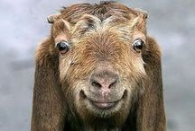 Critters and Their Care - Goats Galore / How to know if the Kids are alright.
