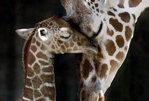 Maman girafe et bébé girafe / Trop chou