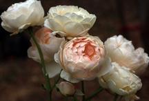 rose inglesi | english roses
