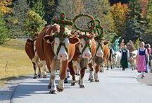 Tradition: Almabtrieb / Wenn der Sommer in den Herbst übergeht, verlassen Kühe und Jungtiere ihre Sommerquartiere. Teils festlich geschmückt treten sie im September den Weg ins Tal an. Der Almabtrieb oder Viehscheid, wie er im Allgäu auch genannt wird, wird vielerorts farbenprächtig insziniert und ist eine langgepflegte Tradition in Bayern und im Alpenraum.