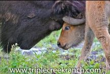 Ranch Baby Animals / Please welcome some of the new members to the Triple Creek Ranch family