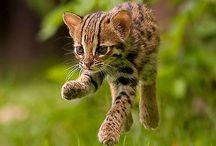 )O( Temple Cat