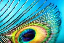Pavos reales/peacock