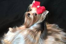 It's a Yorkie Peachy Girl World ! / Cutest clothes & more for a well dressed Yorkie