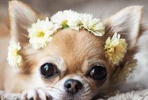 Chihuahua's