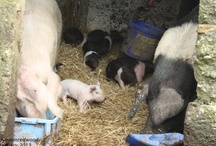 Our pigs / Random photos of our pigs