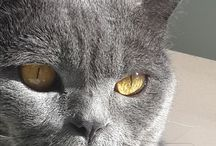 Kediler / Chartreux and street cats