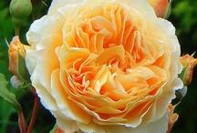 Rosas... / by Izabel Cristina