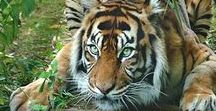 Tiger / Tigers are the worlds best animals!