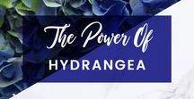 ORCHIDYA / The Power Of Hydrangea