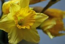Daffodils / by Sharon Epstein