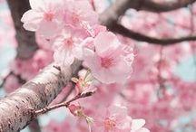 ● Sakura
