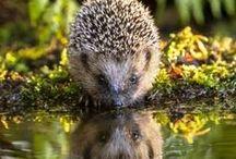 • hérissons - hedgehogs •