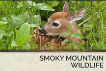 Smoky Mountain Wildlife / The Great Smoky Mountains National Park in Tennessee is home to black bears, white tailed deers, coyotes, wolfs, rabbits, turkeys and so much more! / by Timber Tops Luxury Cabin Rentals