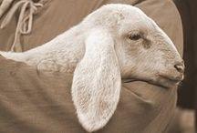 Sheep & the Good Shepherd / Psalm 23