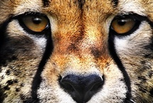 ANIMALS *WILD CATS* / Wild cats: tigers, lions, panters, lynx, leopards