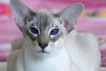 ANIMALS cats *bengel & oriental* / Cats