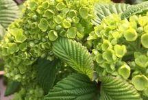 季節の植栽: Trees & Flowers / 風景を彩る植栽たち。風知蒼から季節のたよりをみなさまにお届けするボード (運営: 株式会社 風知蒼) 風知蒼の豊富な施工例はこちらから https://www.fuchiso.com/ TEL: 045-712-9606でのご相談もお待ちしております。