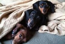 Doxies & Bostons / by Brenda Sparks Gibbons Stallings