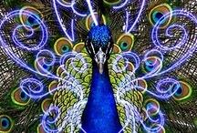 Art - Peacock