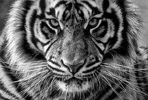 Lions & Cats