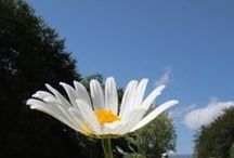 Dream Of Daisys