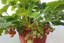 Vegetable Gardening / How to grow better vegetables.