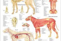 Koiran anatomia / Työjuttuja