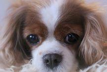 Koira / Cavlier KingCarlesinSpanieleiden eläämää meillä kotona
