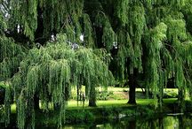 willow weep for me / in the garden!
