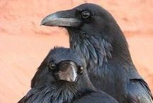 murder of crows... and ravens / black birds are cool and spooky / by Susan Kamps