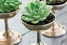 SUCCULENTS / Not only for water conserving gardens, succulents are a happy little plant just perfect for small containers!