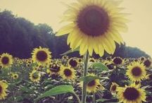All about Sunflowers! / They look like smiles and that's why I love them! / by Beth Chesser