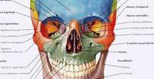 TCG. Unidad 4. Naiara / Anatomía dental