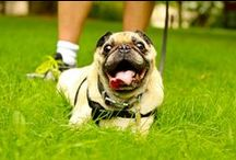 Pugs are Beautiful / In love with pugs? Well you came to the right place. / by Izzie Behl