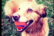 Life With Dogs / Dogs, dog tips, dog stuff, dog treats, dog homes...  / by Katie Nyulassy