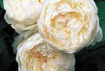 Garden Inspo / garden inspiration, roses