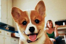 Pups... the majority of which  are Corgis