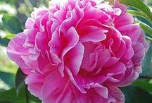 Pretty Peonies!!! / My favorite flowers!!!!
