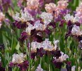 kvetiný