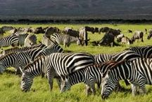 Tanzania Safari / Safari Travel & Lifestyle - Tanzania Safari, Kenya Safari, East Africa Safari, Safari Lodges, Zebras, Elephants, Big and Small Cats.